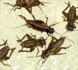 A Crash Course on How to Get Rid of Crickets
