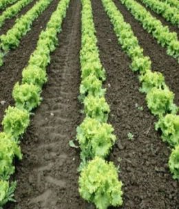 A Crash Course on How to Grow Lettuce