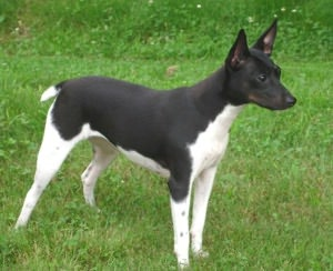 Rat Terriers for Beginners