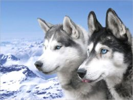 A Beginners Guide to Siberian Huskys