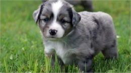 Miniature Australian Shepherds for Beginners