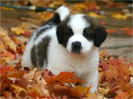 A Beginners Guide to Saint Bernards