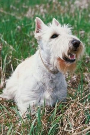 Training a Scottish Terrier For Beginners
