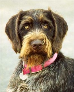 A Beginners Guide to German Wirehaired Pointers