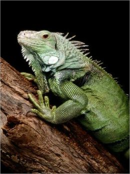 The Essential Guide to Caring For Your Pet Iguana