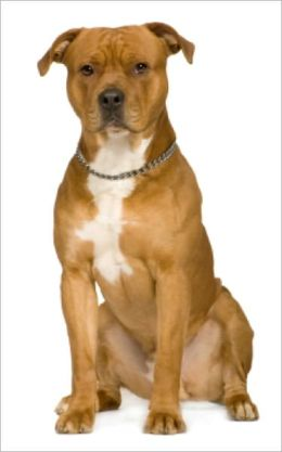A Beginners Guide to American Staffordshire Terriers
