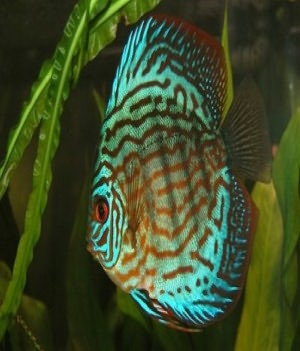 The Essential Guide to Caring For and Breeding Discus Fish