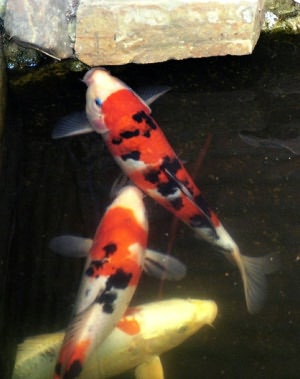 Starting and Maintaining a Koi Pond: A Guide For Beginners