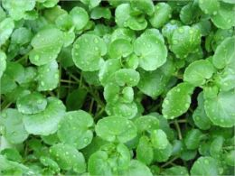 A Crash Course on How to Grow Watercress By: Marion Collier