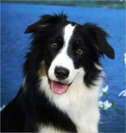 A Beginners Guide to Border Collies