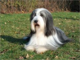 A Beginners Guide to Bearded Collies