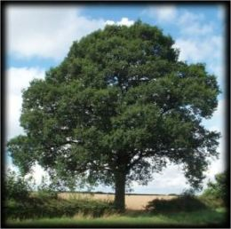 How to Grow an Oak Tree