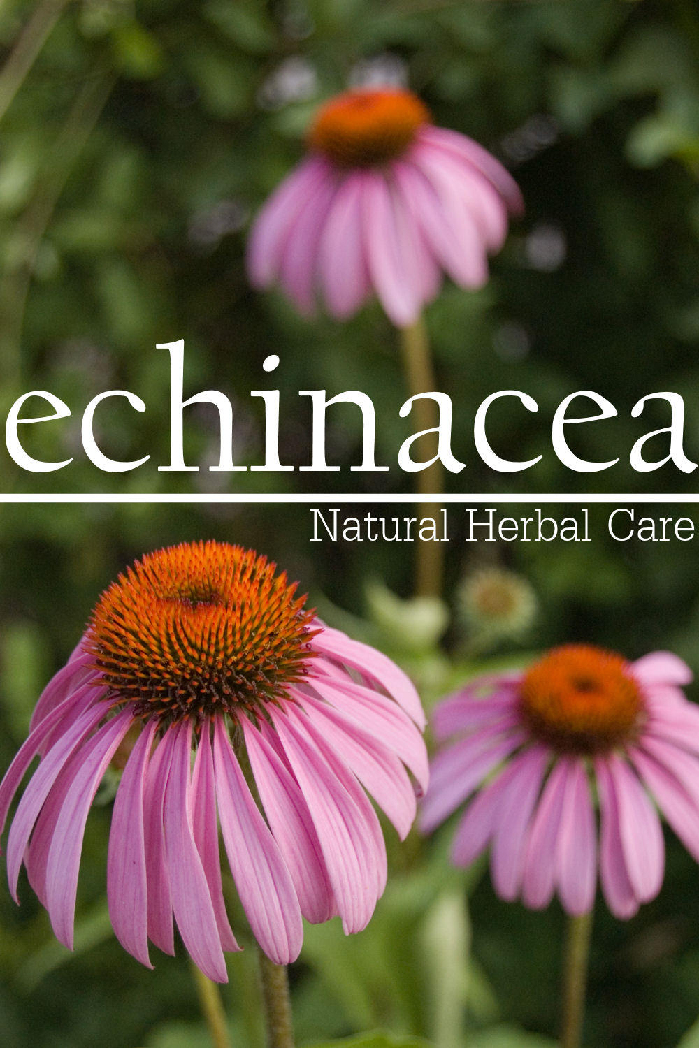 Echinacea - Natural Herbal Care