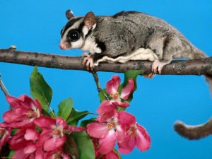 Sugar Gliders for Beginners