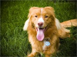 A Beginners Guide to Nova Scotia Duck Tolling Retrievers