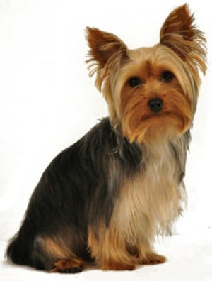 Yorkshire Terrier Training For Beginners
