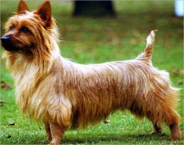 A Beginners Guide to Australian Terriers