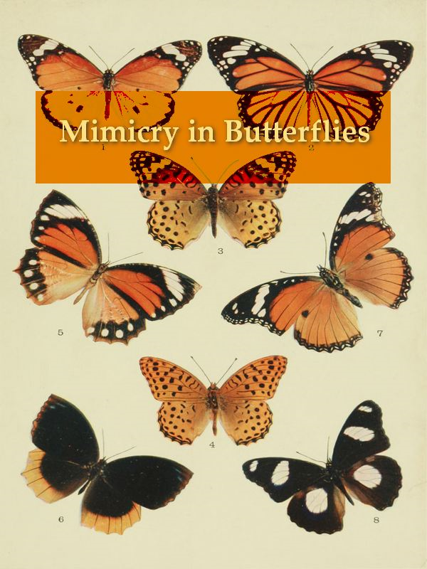 Mimicry in Butterflies
