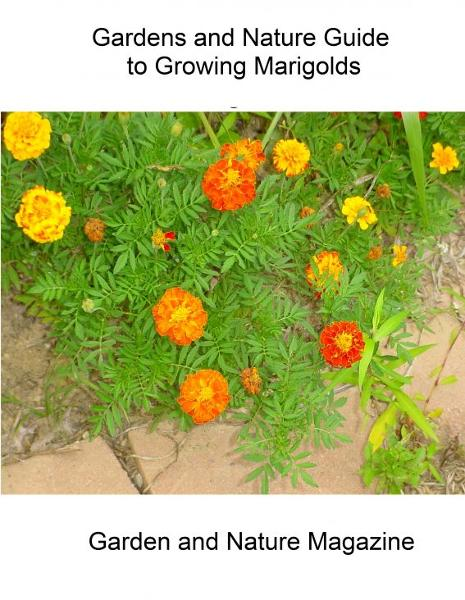 Abe's Guide to Growing Marigolds