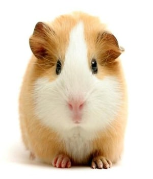 Guinea Pig Care: An Essential Guide to Caring For Your New Guinea Pig