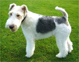 Wire Fox Terriers for Beginners By: Michelle Ashley