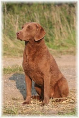 A Beginners Guide to Chesapeake Bay Retrievers