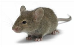 A Quick and Easy Guide on How to Get Rid of House Mice