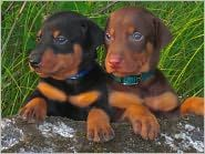 Doberman Pinschers for Beginners