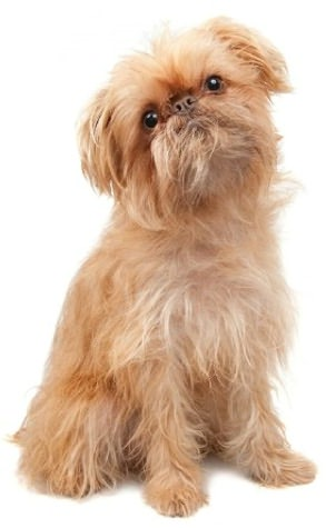 A Beginners Guide to Brussels Griffons