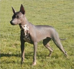 Xoloitzcuintlis for Beginners