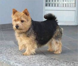 A Beginners Guide to Norwich Terriers