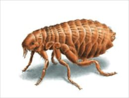 A Crash Course on How to Get Rid of Fleas