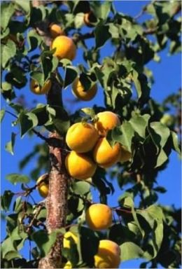 Pruning Fruit Trees For Beginners