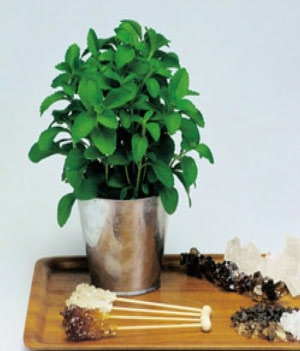 A Crash Course on How to Grow Stevia