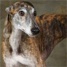 A Beginners Guide to Greyhounds