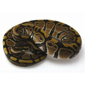 Ball Python Care for Beginners By: Harper Burns