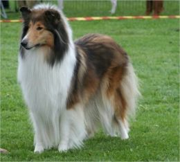 A Beginners Guide to Collies