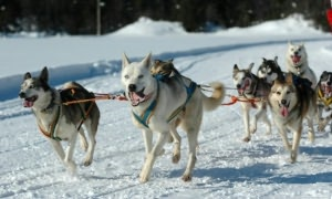 Dog Sledding for Beginners By: Kenny Swardson