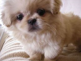 A Beginners Guide to Pekingeses